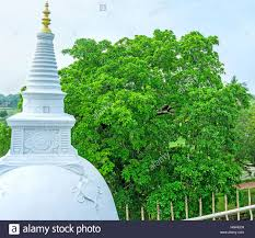 the spire of stupa in isurumuniya temple rises the highest