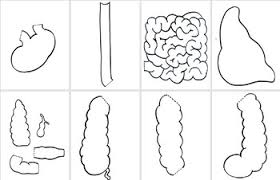 size digestive system model printable for review or projects