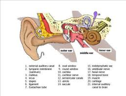 Basic Anatomy Of The Ear Frequently Asked Questions Vestibular Disorders Association