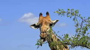 what do giraffes eat reference com