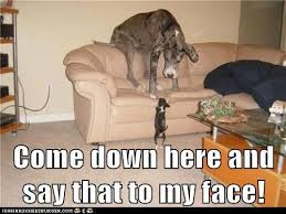 Say That To My Face Meme - 12 best great dane memes of all time