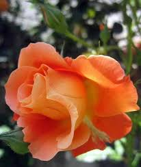 994 best my rose garden images on pinterest flowers plants and