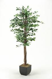best 25 black olive tree ideas only on pinterest olive tree