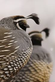 261 best pheasants quail images on pinterest beautiful birds