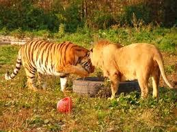 asian lion ring holder images Lion vs tiger jpg