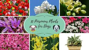top 10 poisonous plants for dogs youtube