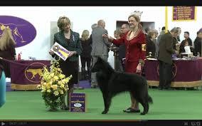 belgian sheepdog alberta belgian shepherd dog club of canada home facebook