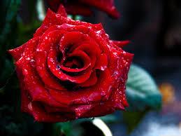 wallpaper flower red rose red rose macro shoot 4k hd desktop wallpaper for 4k ultra hd tv