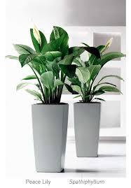 plante bureau plante de bureau inspirational ponytail palm a house a home