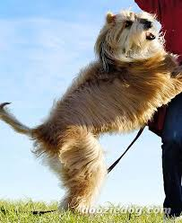 afghan hound underwater afghan hound pictures posters news and videos on your pursuit