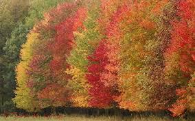 fall tree colors beautiful tree fall sugaring