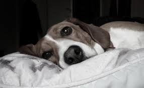 boxer dog noises if night noises wake your dog every night white noise might be