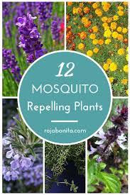 plants that keep mosquitoes away dress up your patio with these 12 mosquito repelling plants