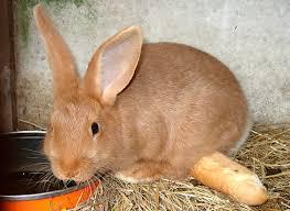 cuisiner un lapin de garenne dictionnaire de cuisine et gastronomie lapin