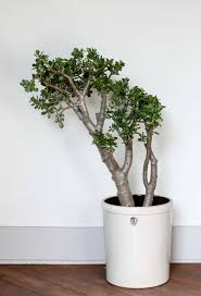 large houseplants large jade houseplants with white ceramic pot fast growing