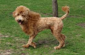 standard poodle hair styles standard poodle haircut styles find hairstyle