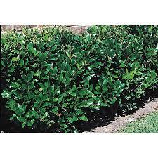 shop 2 quart white waxleaf ligustrum foundation hedge shrub l3255