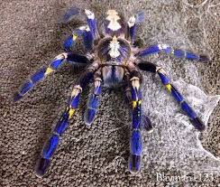 13 best gooty ornamental tarantula images on