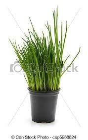 erba cipollina in vaso vaso erba cipollina erba cipollina vaso isolato sfondo