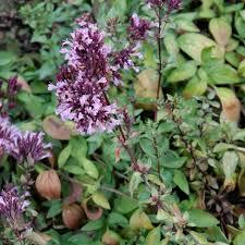 colorado springs utilities xeriscaping purple ornamental oregano