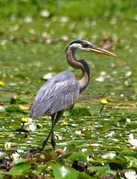Heron Meaning by Prufrock U0027s Dilemma High Noon With A Great Blue Heron