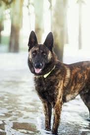 belgian sheepdog breeds best 25 dutch shepherd dog ideas on pinterest belgian malinois
