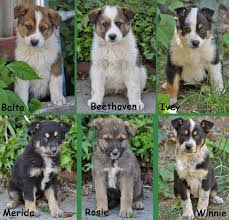 australian shepherd puppies 7 weeks westside german shepherd rescue of los angeles