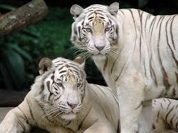 best 25 tiger wallpaper ideas on pinterest tiger pictures