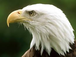 eagle wallpapers free download beautiful birds hd desktop images