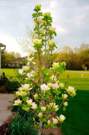 douglas maple acer glabrum pacific northwest native tree 8 best byrd tuscan images on pinterest monrovia plants