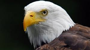 Cool American Flag Wallpaper Bald Eagle With American Flag Wallpaper Best Cool Wallpaper Hd