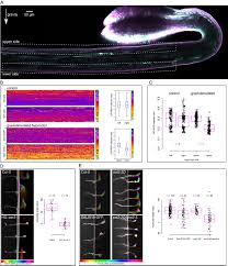 tir1 afb aux iaa auxin perception mediates rapid cell wall
