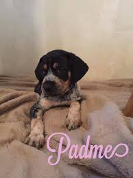 bluetick coonhound and bloodhound mix padme u0027s web page