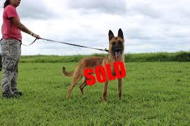 belgian shepherd louisiana available dogs usk9 unlimited