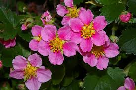 free photo ground cover ornamental strawberry free image on