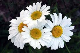 Daisy The Flower - dreaming white flowers types of white flowers flower blog