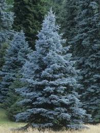 landscaping tips facts about the colorado blue spruce tree blue