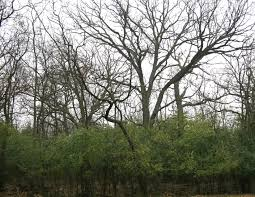 illinois native plant guide invasive plants buckthorn by the numbers