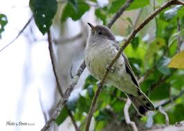 is this a juvi little bronze cuckoo birds in backyards