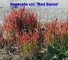 ornamental grasses johnston s evergreen nursery