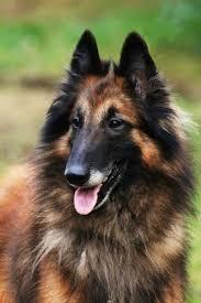 belgian sheepdog youtube chien de berger belge belgian shepherd dog tervueren tervueren