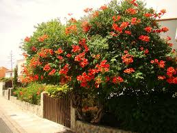 trumpet vine campsis radicans vigorous climber with orange or red