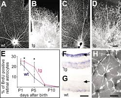 stabilization of the retinal vascular network by reciprocal