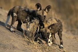 safari ltd african wild dog african wild dog facts what makes them such fascinating hunters