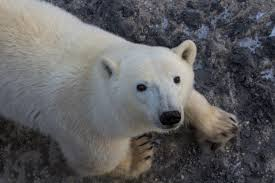 will polar bears die out because of climate change u2013 cool green