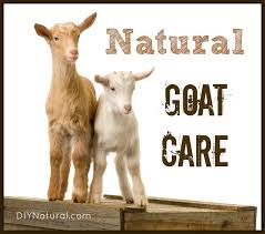 raising goats naturally basic care and feeding practices