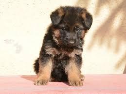 belgian shepherd south africa kiwi german shepherd dog puppy for sale euro puppy
