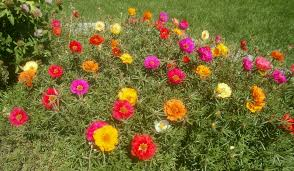 Pretty Plants by Plants Are The Strangest People Pretty Pictures Portulaca