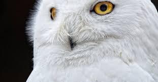 white owl 2 wallpapers white owl free stock photo