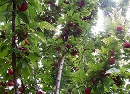 american plum tree edible fruit